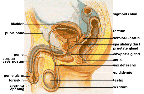 Diagram of the male pelvic and reproductive organs